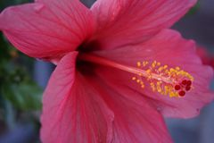 Purpurfärgad hibiskus i närbild med fokusen på pollenet arkivbilder