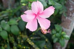 Purpurfärgad hibiskusblomning i Thailand Royaltyfri Fotografi