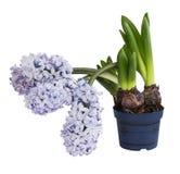 Purpurfärgad hyacint i blomkrukan som isoleras över vit Arkivbilder