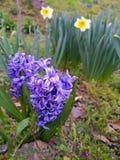 Purpurfärgad hyacint och vit pingstlilja som jag grundar i Japan fotografering för bildbyråer