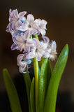 Purpurfärgad hyacint på svart backgound Fotografering för Bildbyråer