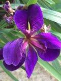 Purpurfärgad Iris Royaltyfri Fotografi