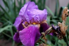 Purpurfärgad Iris royaltyfri foto