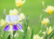Purpurfärgad Iris Fotografering för Bildbyråer
