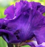 Purpurfärgad iris i blom arkivbild