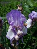 Purpurfärgad irisblomma Arkivbild