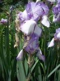 Purpurfärgad irisblomma Royaltyfria Bilder