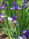 Purpurfärgad irisblomma Arkivbilder