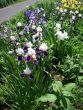 Purpurfärgad irisblomma Arkivfoto
