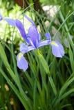 purpurfärgad irisblomma på grön bakgrund Royaltyfri Foto