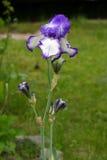 Purpurfärgad irisblommaträdgård Royaltyfria Bilder