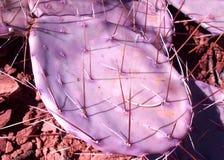 Purpurfärgad kaktus för taggigt päron Arkivbild