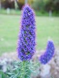 Purpurfärgad konisk blomma arkivfoto