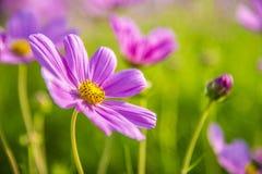 Purpurfärgad kosmosblomma i garden5en Royaltyfri Foto