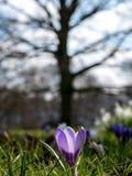 Purpurfärgad krokus arkivfoto