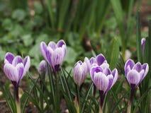 Purpurfärgad krokus blommar med band Arkivbilder