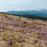 Purpurfärgad krokus blommar på vårmorgonberget arkivbild
