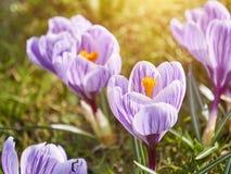 Purpurfärgad krokus, blomningväxter i irisfamiljen en grupp av krokusar, äng mycket av krokusar Arkivbild