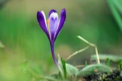Purpurfärgad krokus som blommar i vår fotografering för bildbyråer