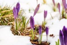 Purpurfärgad krokus som växer utanför från jord och snö Royaltyfri Bild