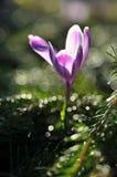 Purpurfärgad krokusblomma på våren Fotografering för Bildbyråer