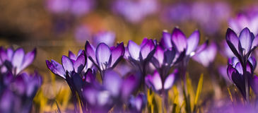 Purpurfärgad krokuskrokus - översvämmat ljus arkivfoton