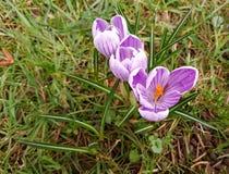 Purpurfärgad krokusvernus 'Pickwick 'mot gräset royaltyfri foto