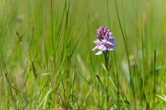 Purpurfärgad lös orkidé Arkivfoton