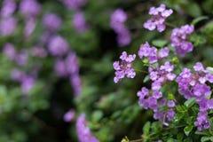 Purpurfärgad lantana Fotografering för Bildbyråer