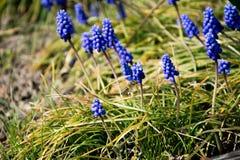 Purpurfärgad lavanderflora med den lilla getingen Royaltyfri Bild