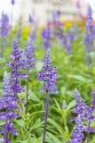 Purpurfärgad lavendel Royaltyfria Bilder