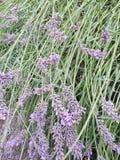 Purpurfärgad lavendel Royaltyfria Foton