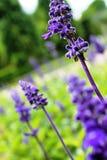 Purpurfärgad lavendel Arkivfoton