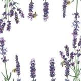 Purpurfärgad lavendel Blom- botanisk blomma Fyrkant för ramgränsprydnad royaltyfri fotografi
