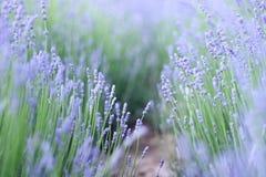 Purpurfärgad lavendel blommar att blomma royaltyfria bilder