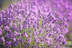 Purpurfärgad lavendel blommar i fältet royaltyfri fotografi