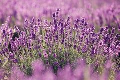 Purpurfärgad lavendel blommar i sätta in royaltyfri fotografi