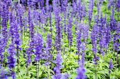 Purpurfärgad lavendel blommar i sätta in Arkivfoto