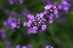Purpurfärgad lavendelblomma för makro Royaltyfri Bild