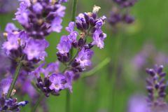 Purpurfärgad lavendelblomma för makro Royaltyfria Foton