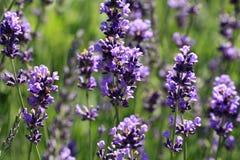Purpurfärgad lavendelblomma för makro Arkivbild