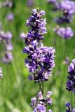 Purpurfärgad lavendelblomma för makro Royaltyfri Foto