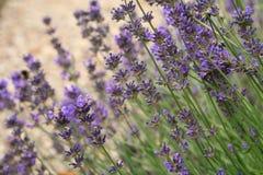 Purpurfärgad lavendelblomma för makro Royaltyfria Bilder