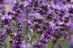 Purpurfärgad lavendelfältnärbild Arkivfoto