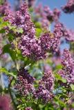 Purpurfärgad lila blomning i blå himmel som är botanisk, vårnaturbakgrund, blommande trädgård Royaltyfria Foton