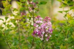 Purpurfärgad lila buske som blommar i vårtid royaltyfri foto