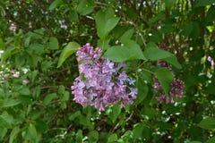Purpurfärgad lila i parkera av Brno/ royaltyfri fotografi