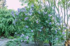 Purpurfärgad lila i trädgården arkivbilder