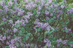 Purpurfärgad lila i trädgården arkivfoton