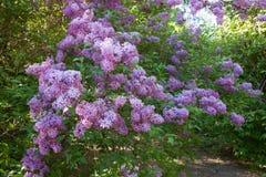 Purpurfärgad lila i trädgården royaltyfri bild